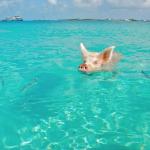 zwemmen-varkens-curacao