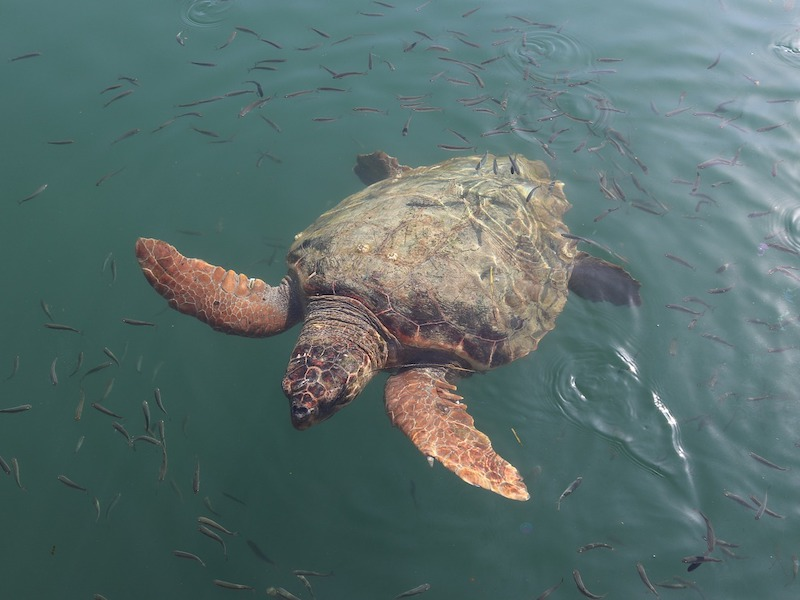 schildpadden-spotten-kefalonia
