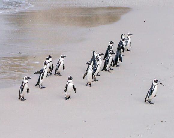 pinguins-zuid-afrika-boulders-beach
