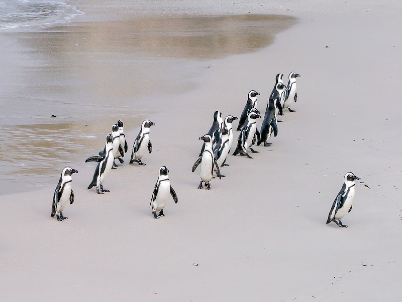 pinguins-zuid-afrika-boulders-beach